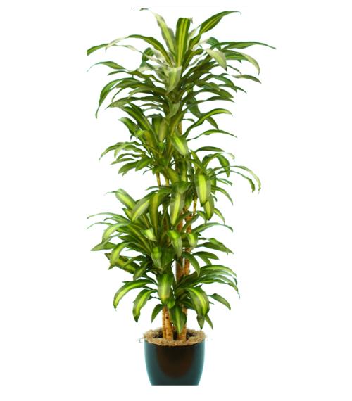 dracaena massangeana vancouver plant rentals. Black Bedroom Furniture Sets. Home Design Ideas