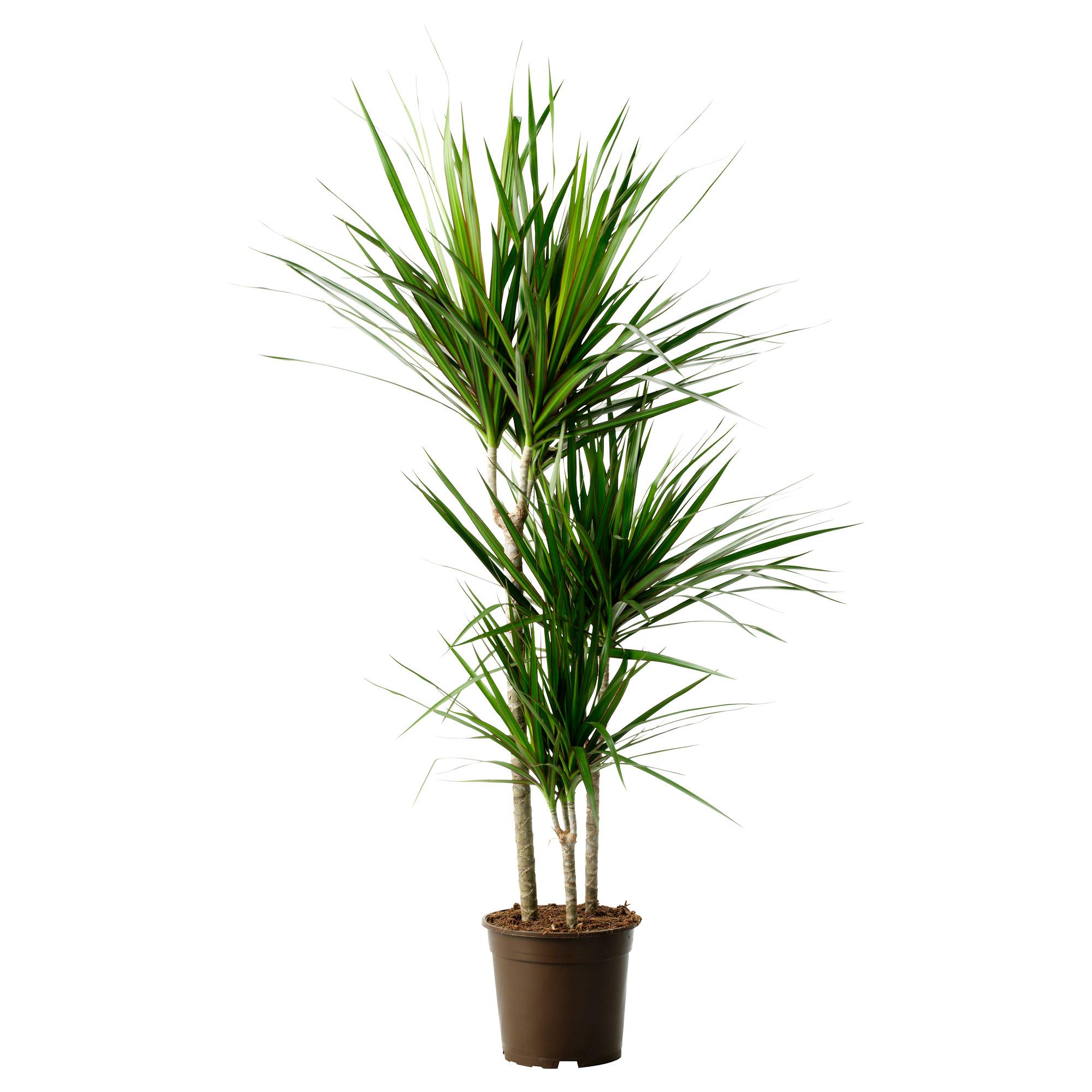Dracaena marginata vancouver plant rentals for Dracaena marginata