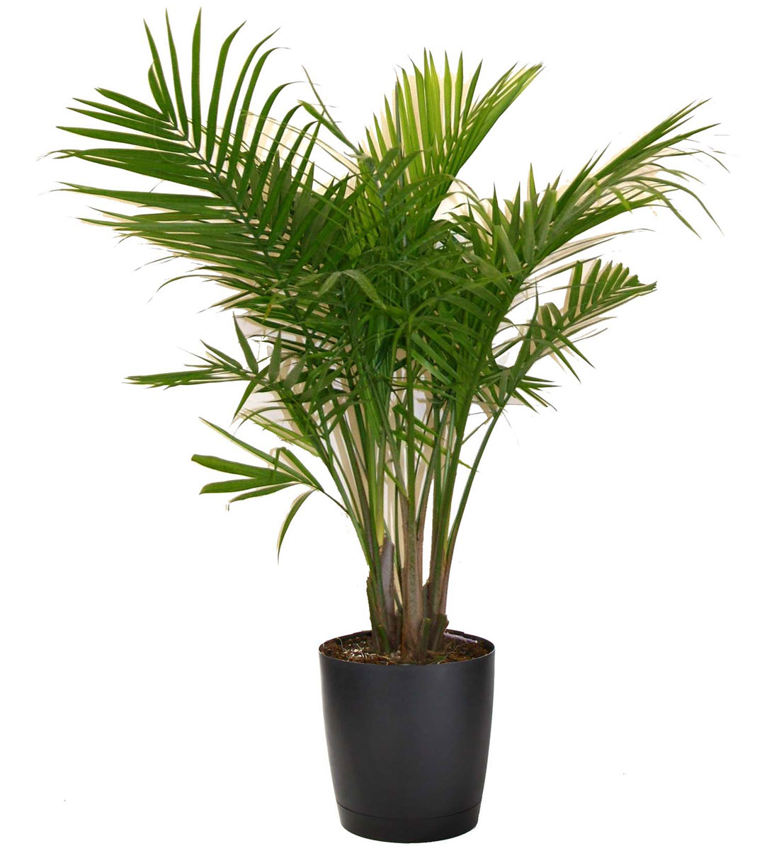 Majesty palm vancouver plant rentals for House garden plants